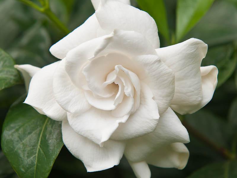Gardenias White Roses Of The Tropics, Picture Of Gardenia