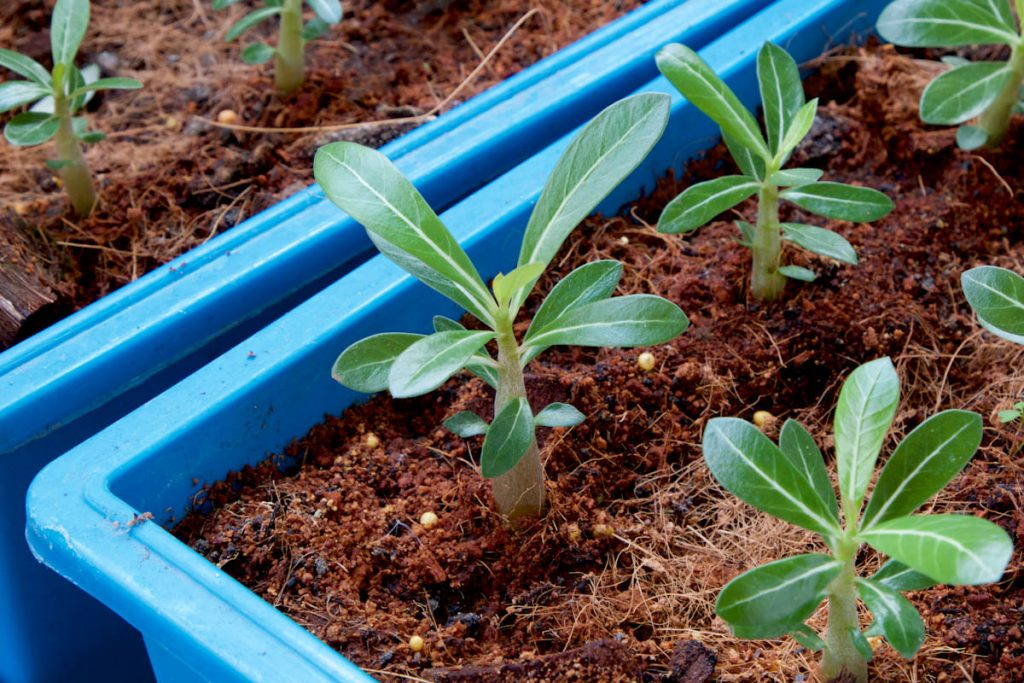 adenium-seedling-seed-raising-mixture