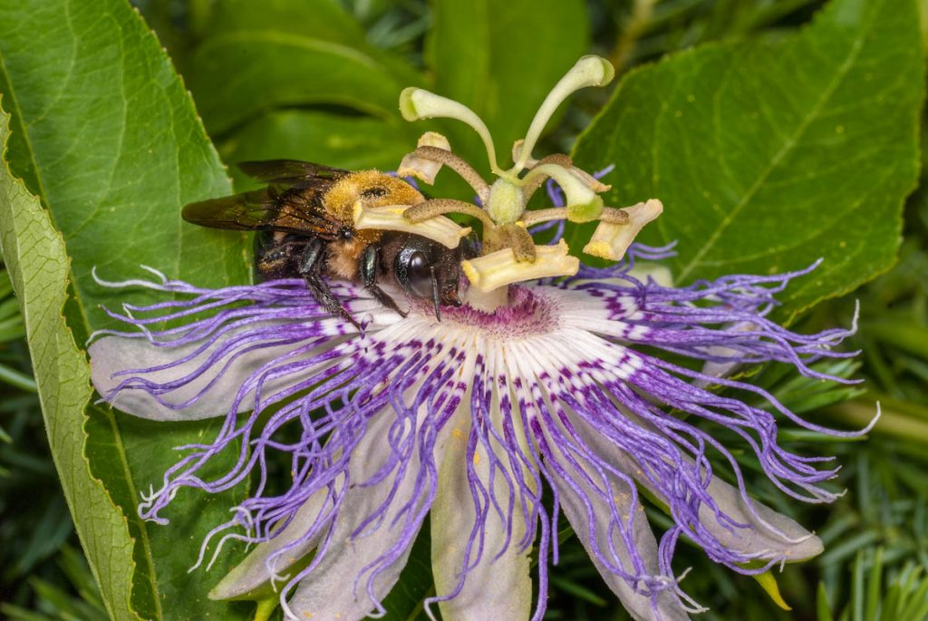 bee-pollinating-passiflora-flower