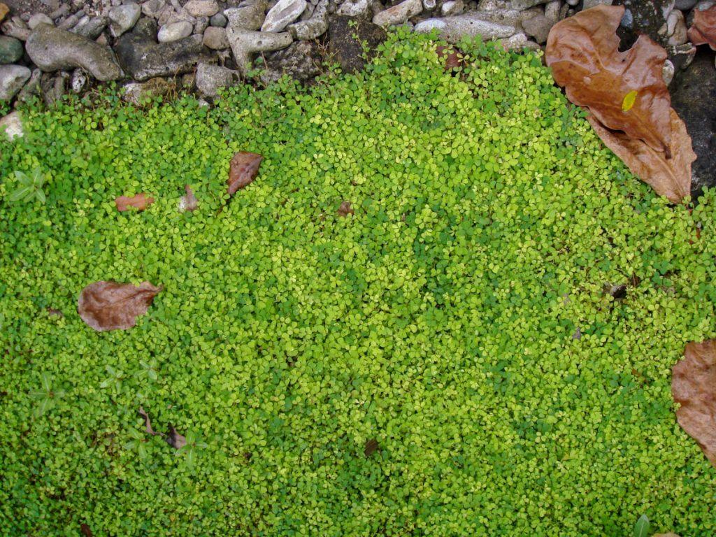 clover-groundcover-seaside-garden