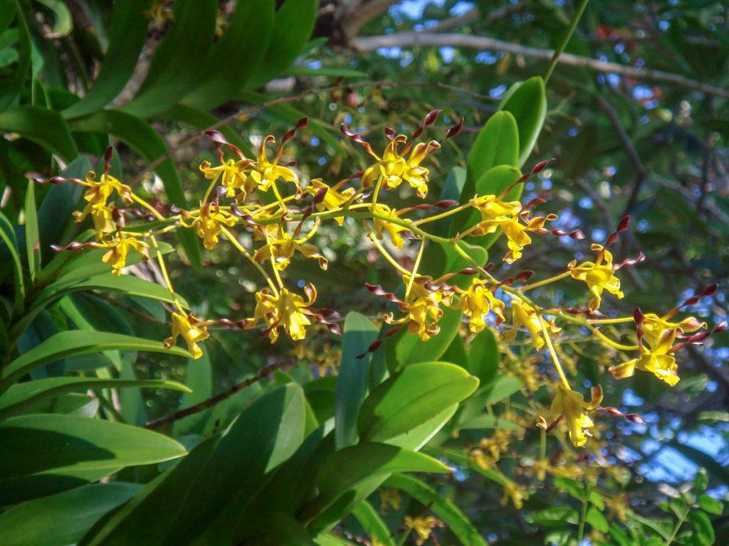 dendrobiums-flowering-seaside-garden.jpg-solomon-islands
