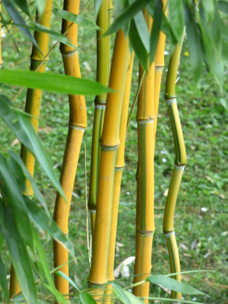 china-gold-bamboo-bambusa-eutuldoises