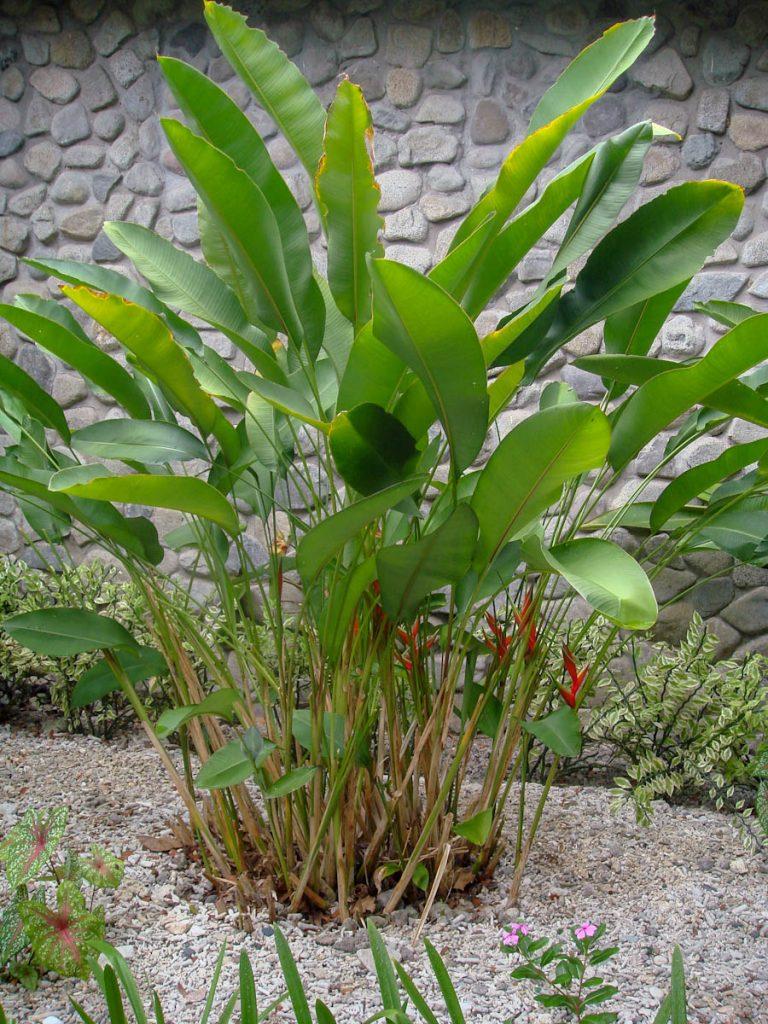 heliconia-bihai-with-pedilanthus-caladium