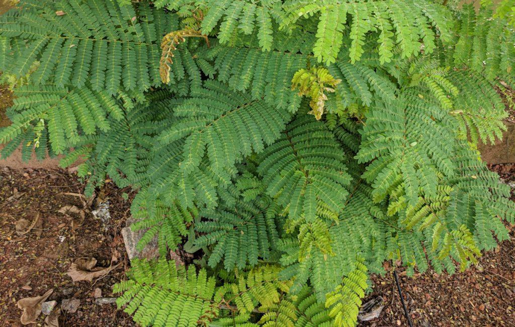 leucaena-leucocephala-mimosa-bush