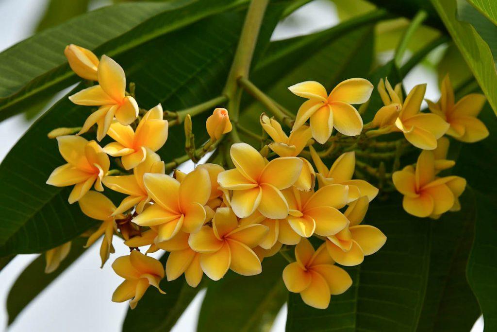 plumeria-frangipani-yellow