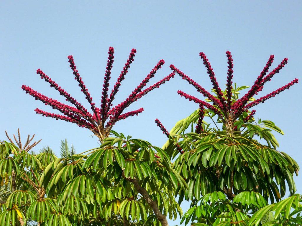 schefflera-actinophylla-umbrella-street