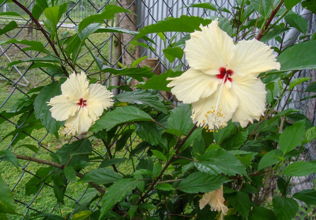 single-hibiscus-seaside-garden-solomon-islands