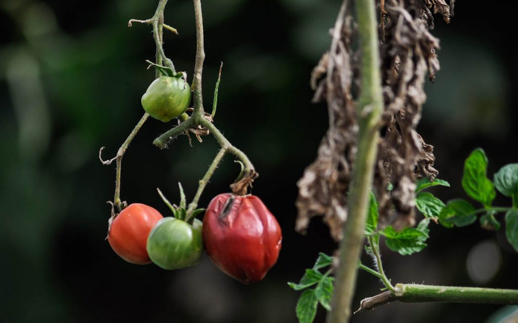 tomatoes-on-diseased-bush