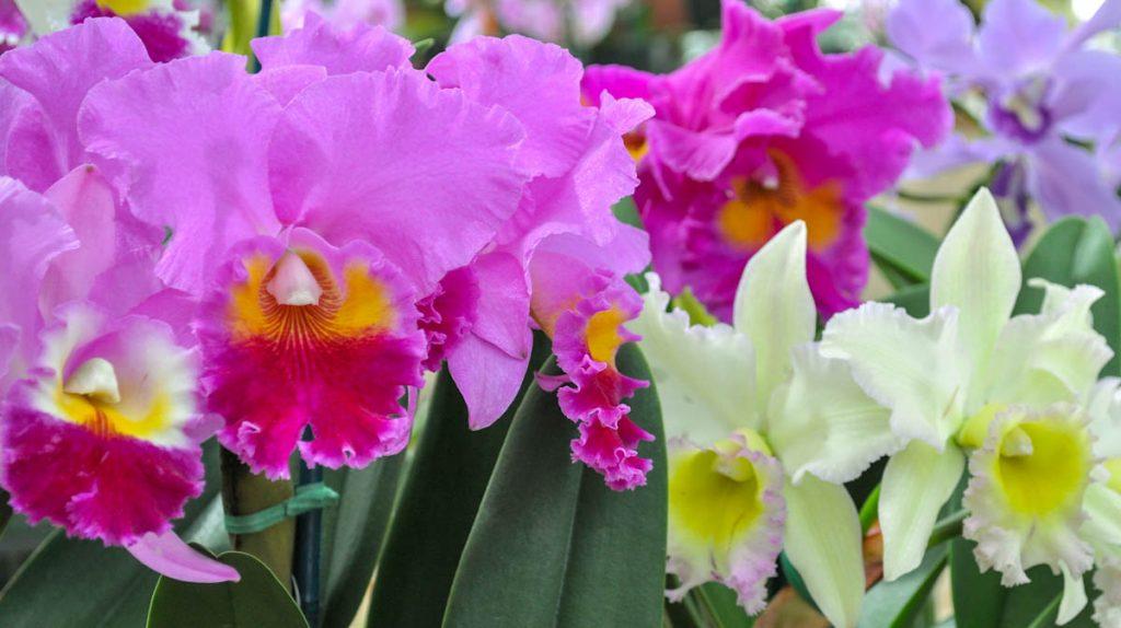 cattleya-orchid-akatsuka-hilo-hawaii