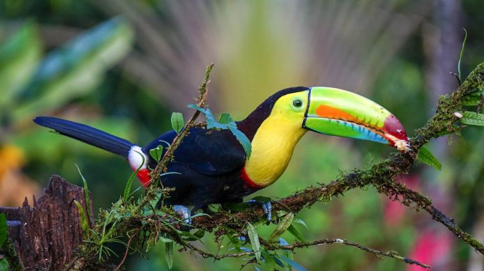 costa-rica-keel-billed-toucan