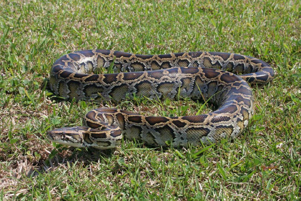 tropics-burmese-python-snake