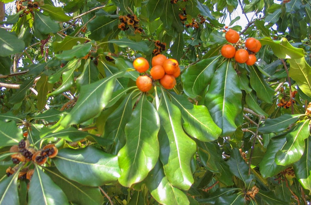 pittosporum-moluccanum-in-fruit