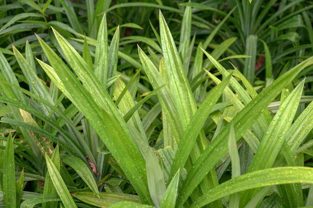 edible-pandan-pandanus-amaryliifolius