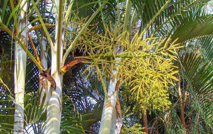 golden-cane-palm-petioles-inflorescence