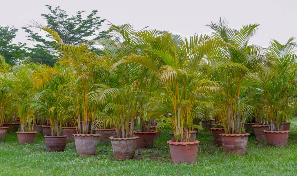 golden-cane-palms-in-terracotta-pots