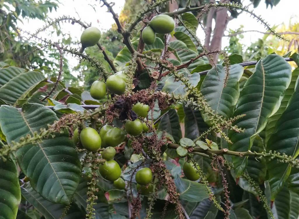 fiji-longan-pometia-pinnata-green-fruit-on-tree