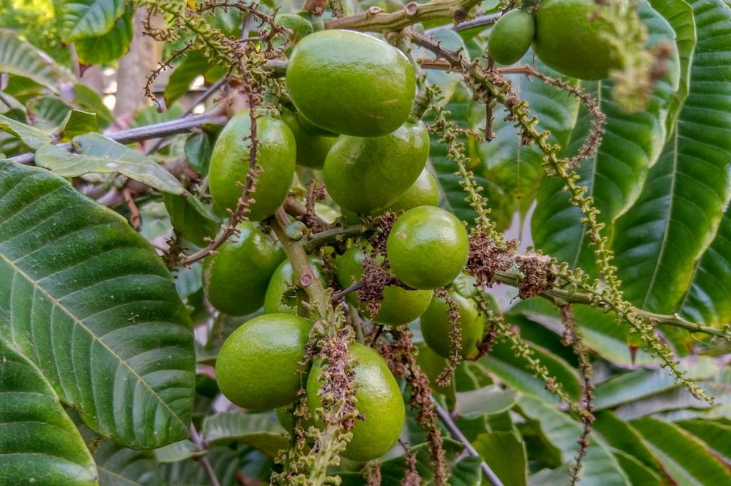fiji-longan-pometia-pinnata-green-fruit-on-tree-closeup