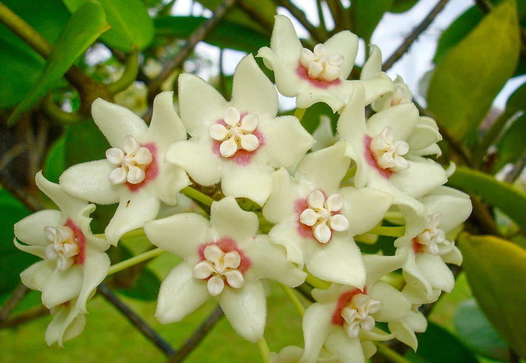 hoya-australis-flower