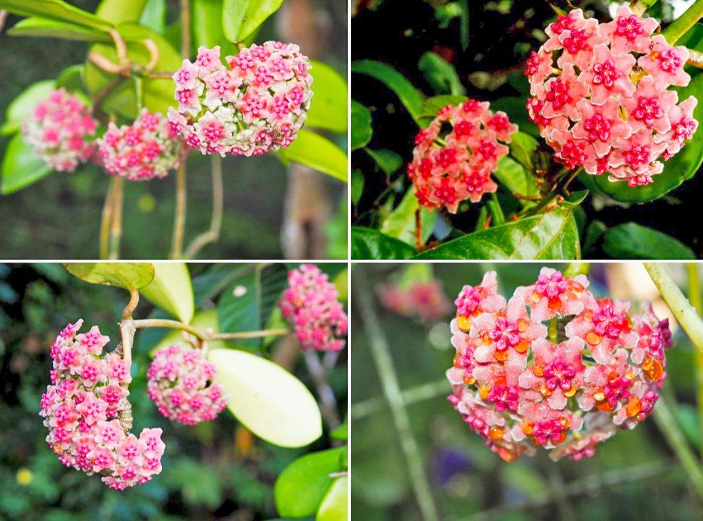 hoya-diversifolia-flowers-closeup