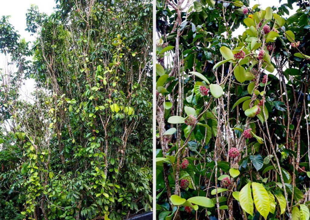 hoya-diversifolia-on-lanzones-tree