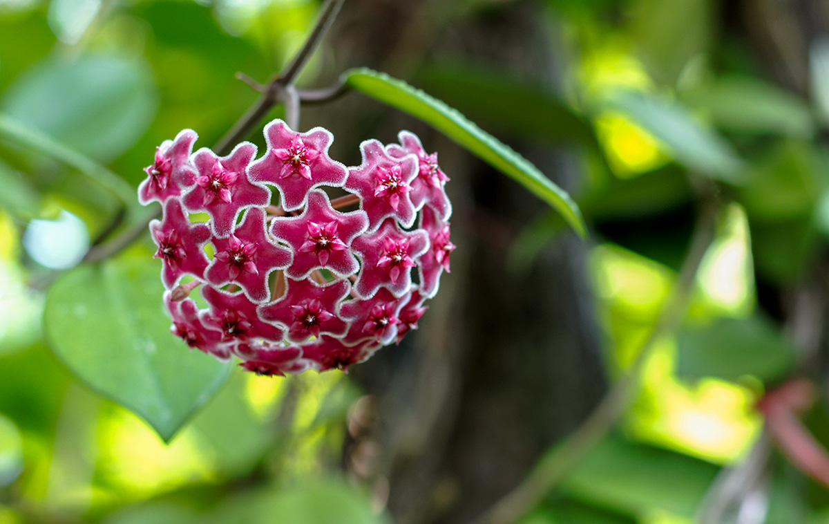 hoya-flower-wax-plant