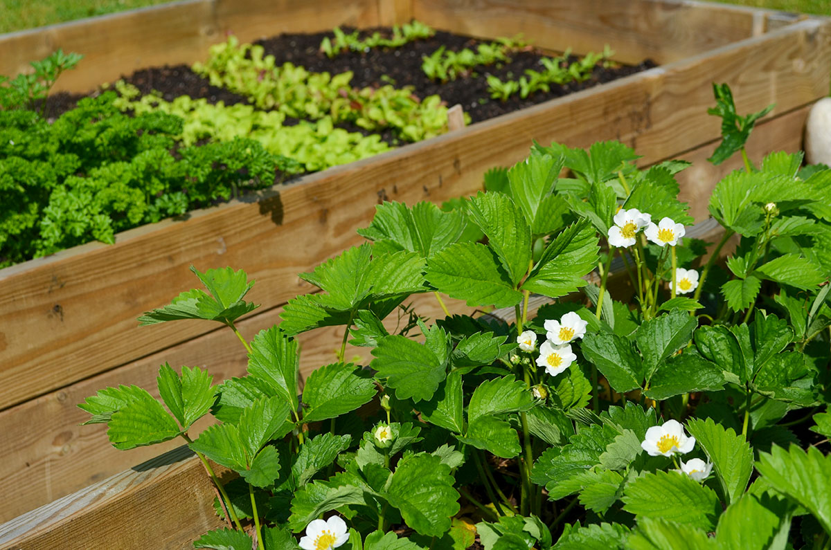 strawberry-growing-raised-beds