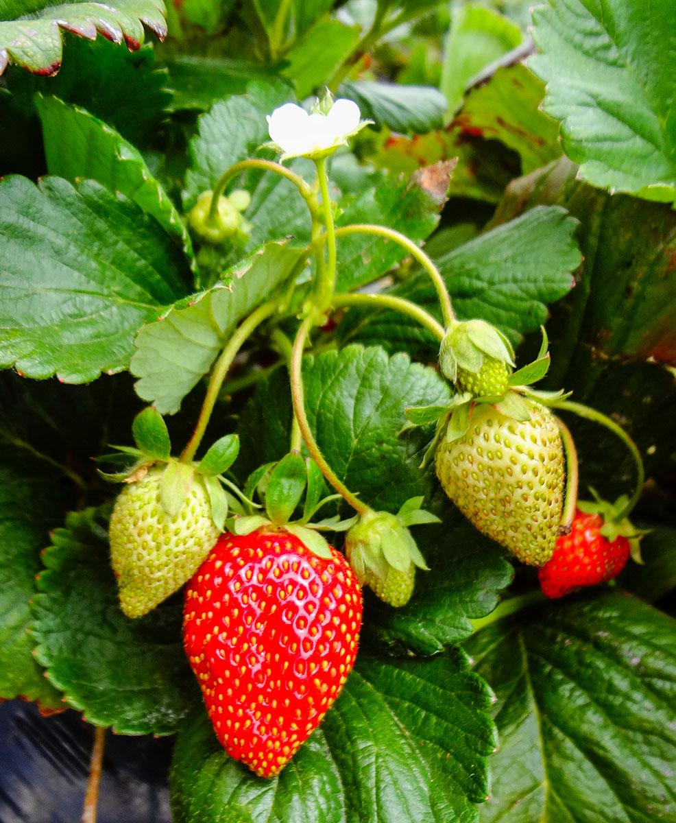 strawberry-plant-heat-tolerant-varieties